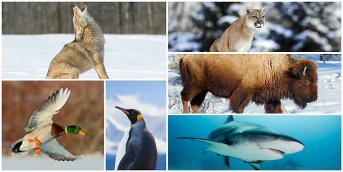 Collage mit Wolf, Ente, Pinguin, Panther, Büffel und Hai
